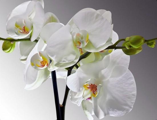 орхидеи 4