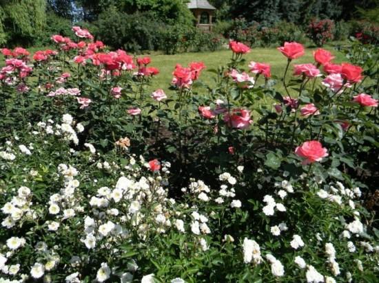 Разведение роз на собственном участке1